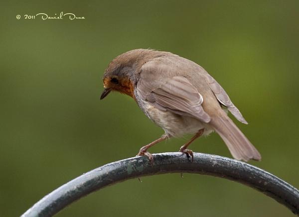 Robin by DanielD
