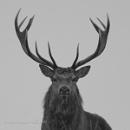 Red deer stag portrait by AaronMarshallNichols