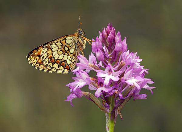 Heath Fritillary on Pyramidal Orchid by fishiee