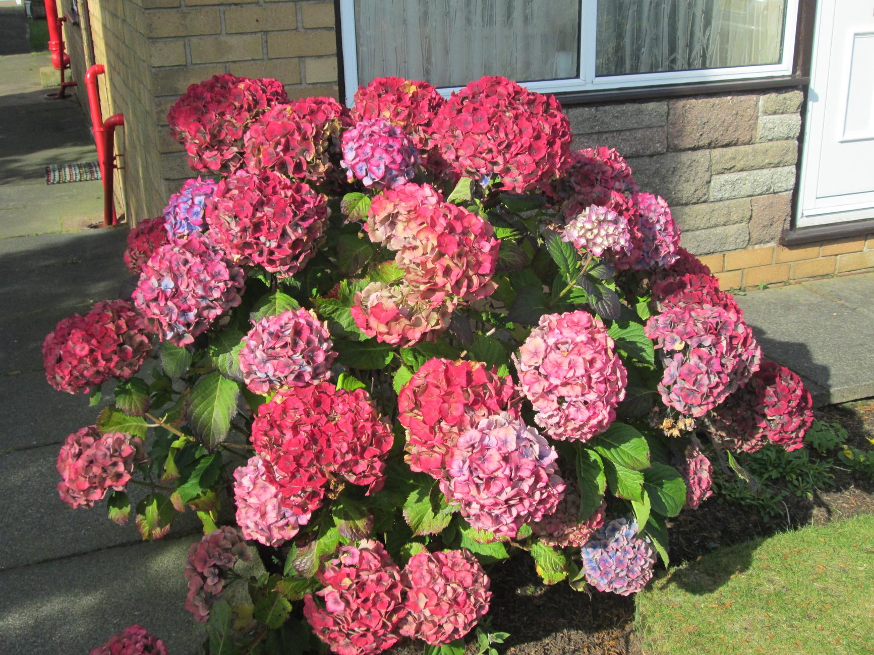 autumn hydrange