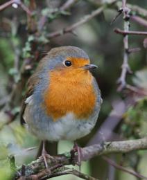 Robin Photographing Season?