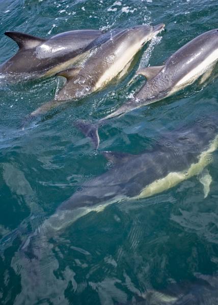 Pod of wild Irish sea dolphins by SailorBuoy
