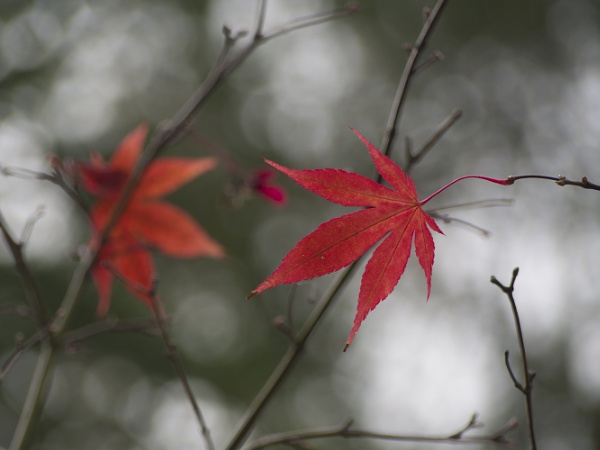 Acer by Pete