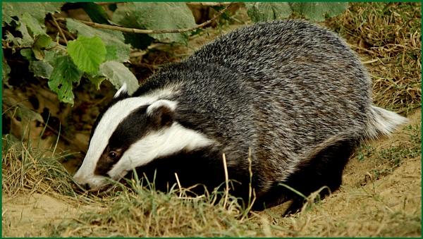 Badger - Meles meles 02. by Badgerfred