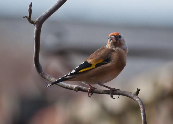 Goldfinch by gaelldew