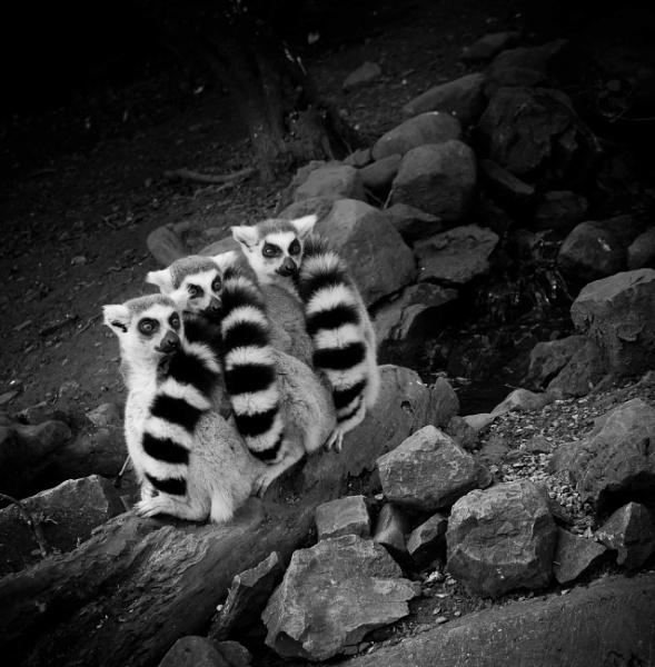 Lemurs by costas