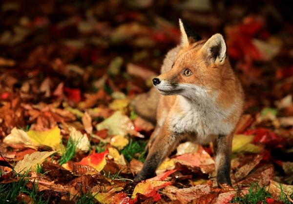 Red Fox Cub by JCRAWFORD
