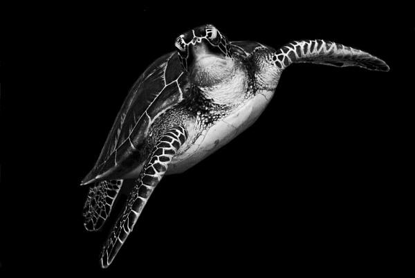 Turtlelising by Digidiverdave