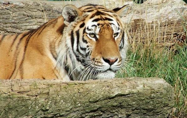 Watchful Tiger by Nhoj