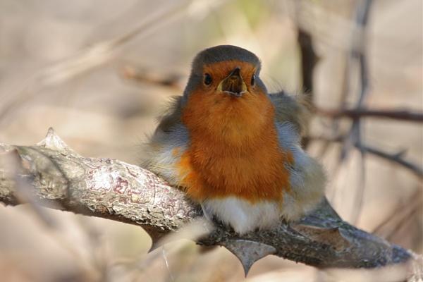 Thorn-bird sings for Summer by altosaxman