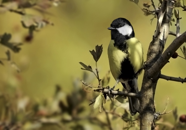 Great tit by gabisandu