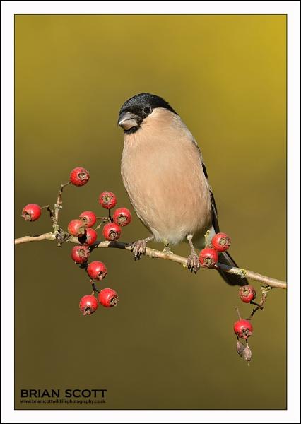 Bullfinch by Brian_Scott