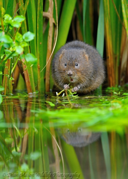Water Vole II by WindowonWildlife