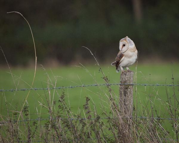Barn Owl (Tyto Alba) by Gio