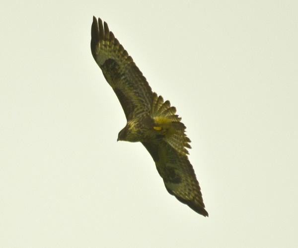 Buzzard overhead by dhandjh