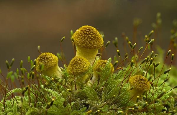 Armillaria cepistipes by MossyOak
