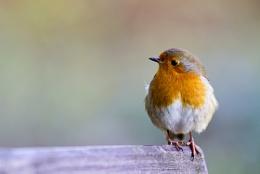 Robin at Ladybower