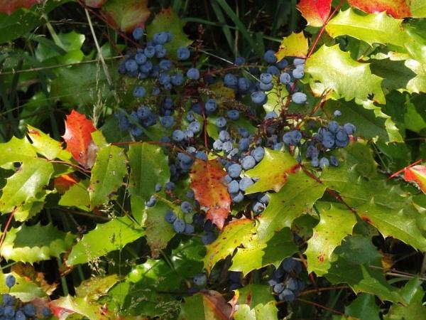 Oregon Grape. by Houba