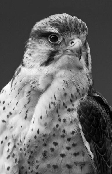 Portrait of a Lanner Falcon by PhilSingleton
