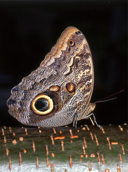 South American Owl Butterfly (Caligo Eurilochus) by Alanup