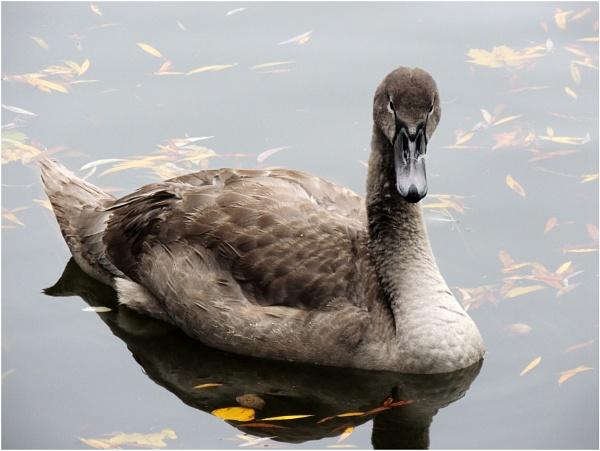 Swan by Monnika