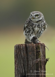 Little owl with prey