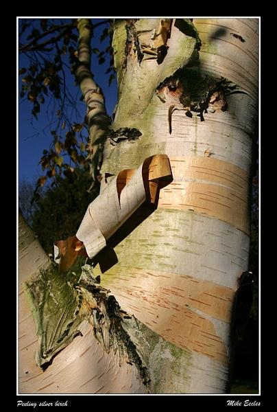 Peeling silver birch by oldgreyheron