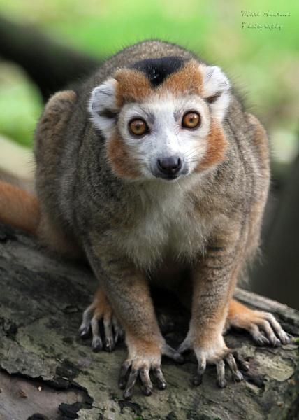 Crowned Lemur by mark1309