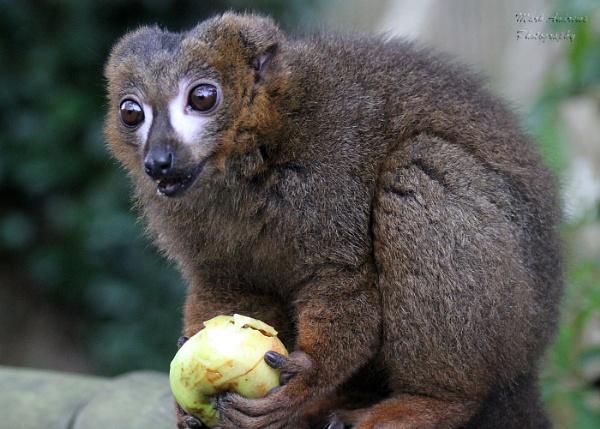 Black Lemur by mark1309