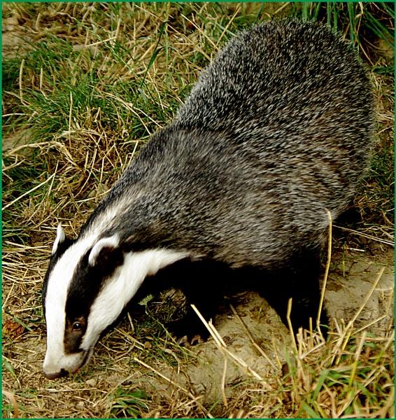 Badger - Meles meles 03. by Badgerfred