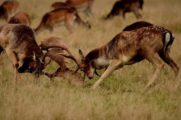 Fallow Deer bucks having a Rut. by jgmford
