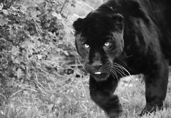 Black Jaguar by Misty56