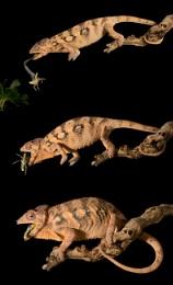Chameleon eating series