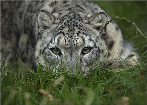 Snow Leopard by Lillian