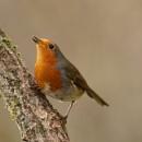Robin by AlanWillis