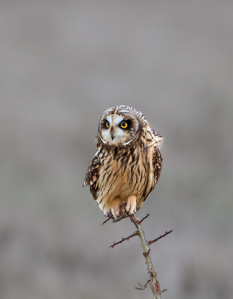 Short-Eared Owl (Asio flammeus) by Ray_Seagrove