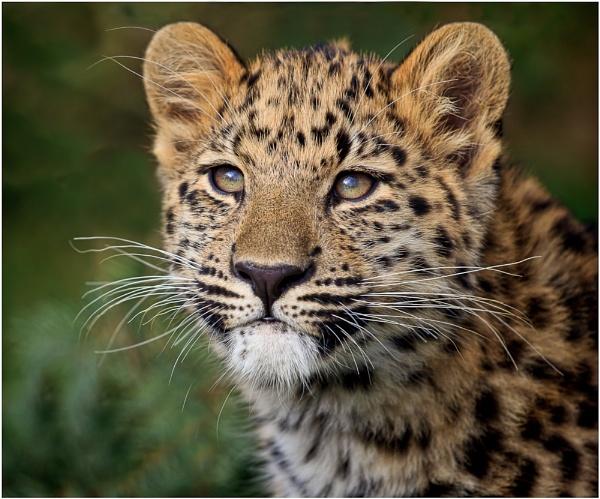 Amur leopard cub by AnnChown