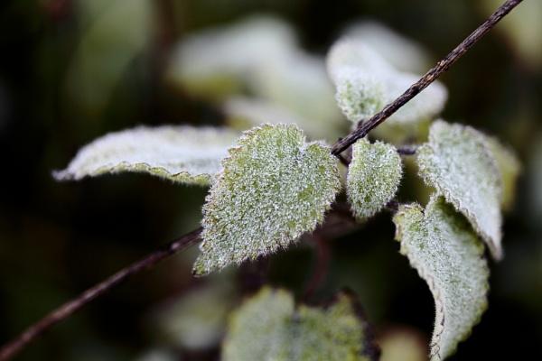 Frosty leaf by pdcche