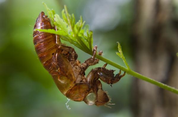 Carcass of cicada by Frankphoto