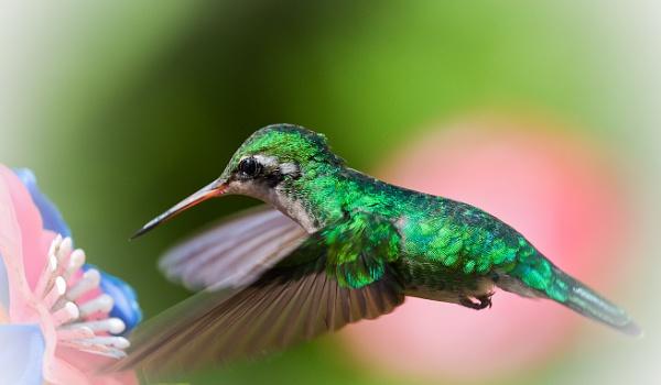 Hummingbird by Frankphoto