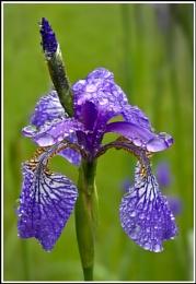 One Wet Iris