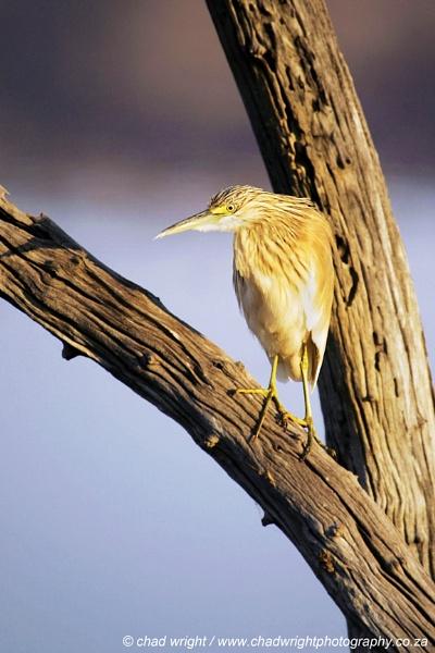 Squacco Heron by Chadw