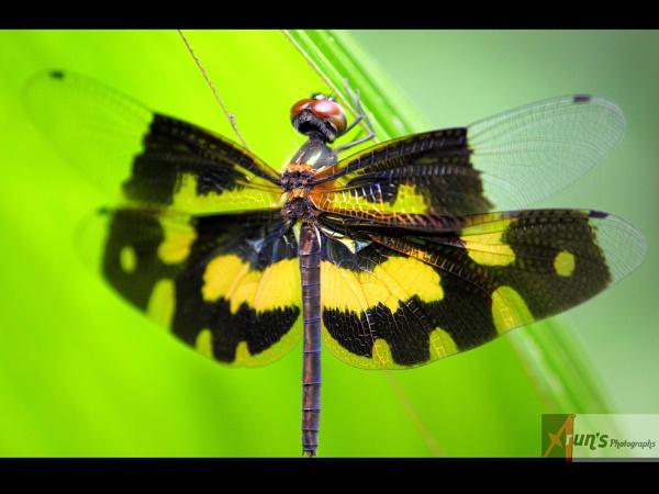Dragonfly by Arunpurushotham