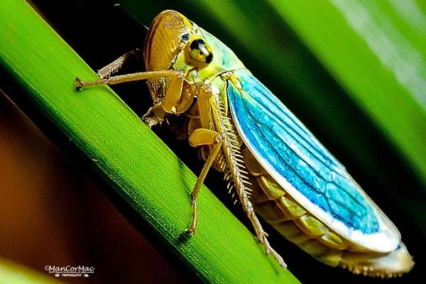 Cicadella viridis by ManCorMac