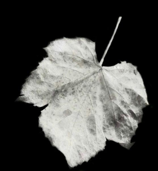 Leaf by Monnika