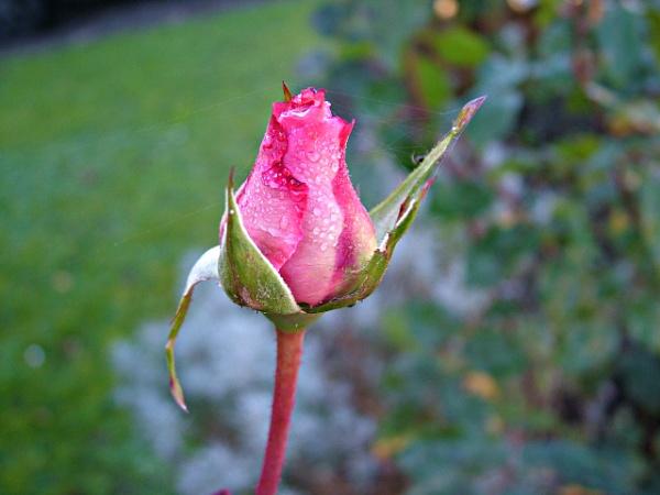 Raindrop Rose by MidnightMaya