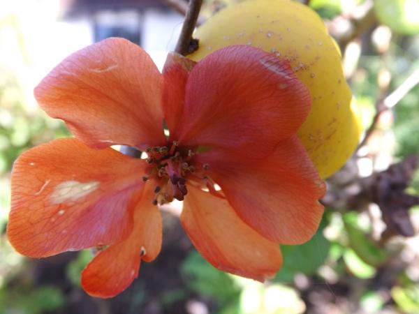 Orange Flower with apple behind it by Mototaur