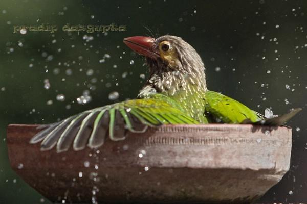Copper Smith Barbet by pradipdasgupta