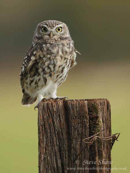 Little owl by Steve_S