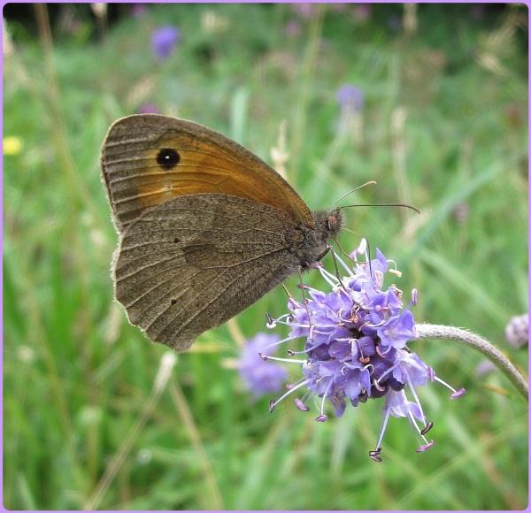 Meadow Brown by Glostopcat